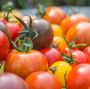 Mixed harvest of Tomatoes. Tomato 'Red Cherry', 'Golden Sunrise', 'Black Cherry' and 'Tigerella'.